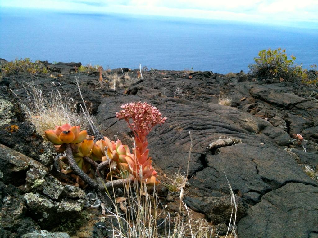 Zwischen junger und alter Lava wachsen erste Flechten und Sukkulenten
