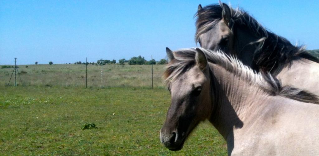 Rückzüchtungen des ausgestorbenen Konik-Pferdes auf einer Weide bei Burgos